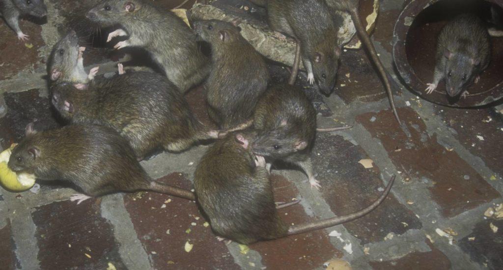 уничтожение крыс в Новокузнецке